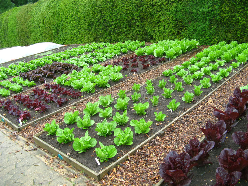 Garden Plots of Lettuce. Several areas of gardening plots of different varieties of lettuce royalty free stock photography