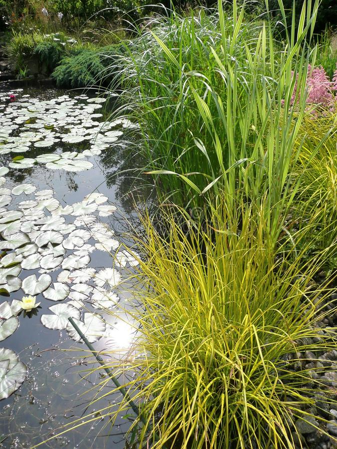 Garden pond with lilies and Grasses. Garden pond with lily pads and grasses including Golden Carex royalty free stock photos