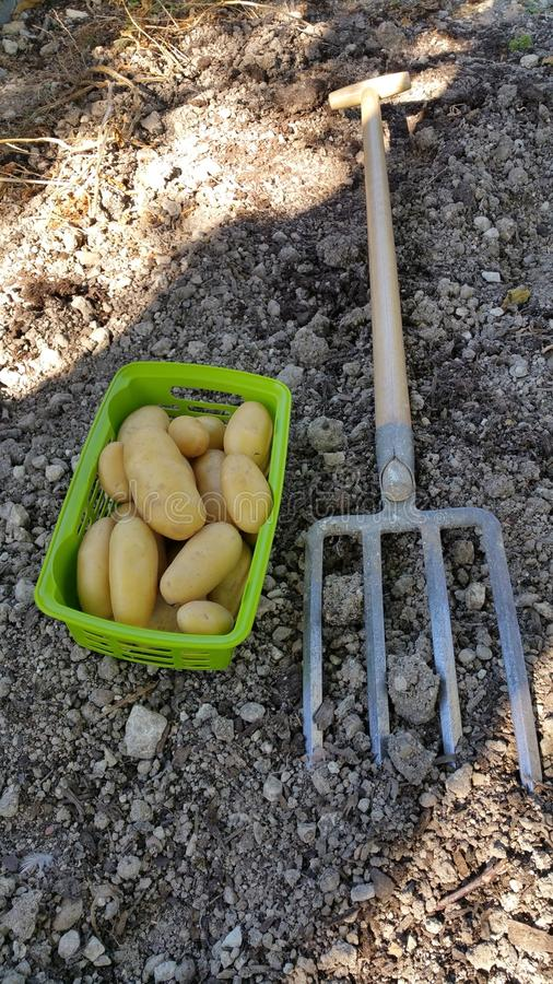 Garden potatoes and tools stock images