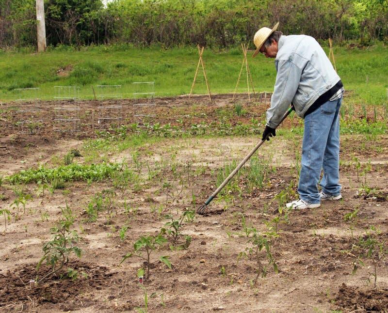 Garden preperation. Senior man prepares a garden for planting stock photo