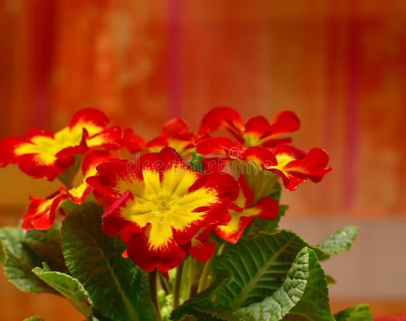 Garden Primrose Red Yellow Flower stock image