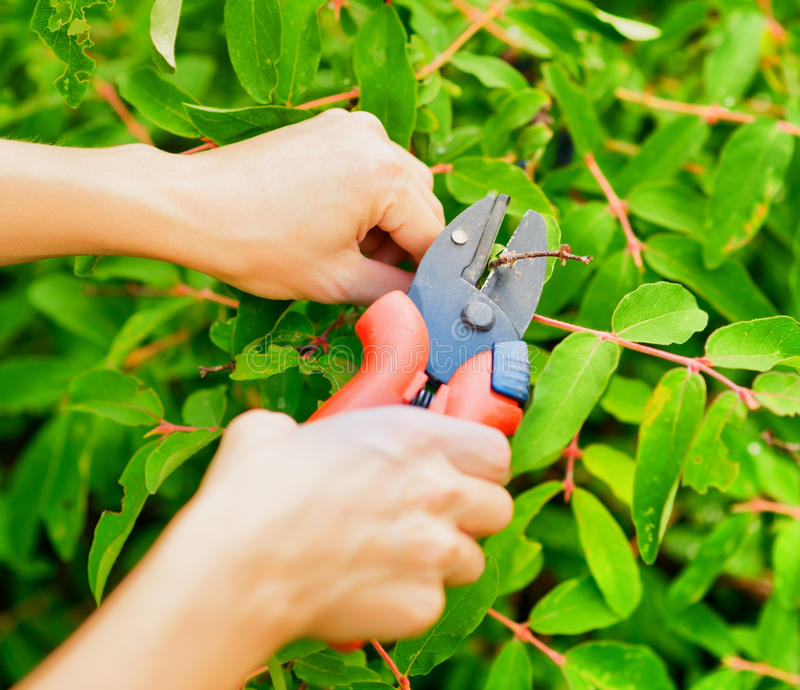 Pruning leaves with garden pruner royalty free stock photo