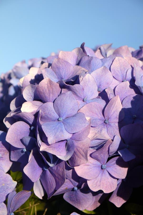 Garden: purple hydrangea flower blue sky stock images
