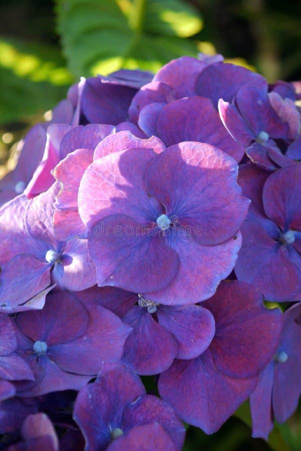 Garden: purple hydrangea flower royalty free stock image