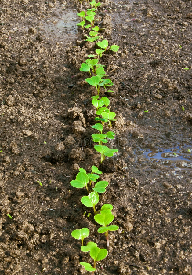 Download Garden radish stock image. Image of brown, cultivation - 22963667