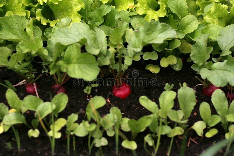 Download Garden radish stock image. Image of hands, fresh, bright - 5549085