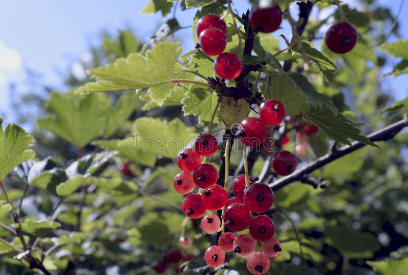 Garden red berry currant berries fruit nature autumn fresh rowan holly natural healthy currants green plant branch bush ripe food. Garden red berry currant royalty free stock images