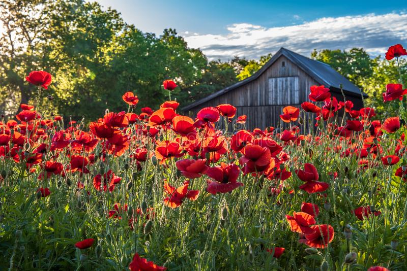 Garden of red poppies backlight with morning sunlight. And old rustic barn in the background royalty free stock photos