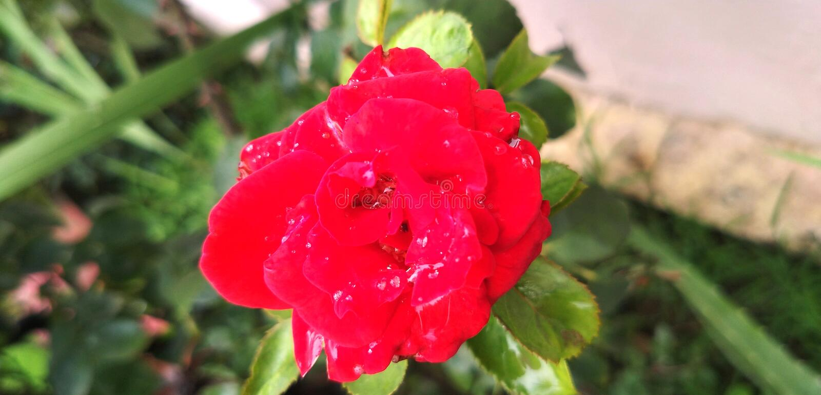Garden Red Rose Symbol of Love and Passion royalty free stock photos