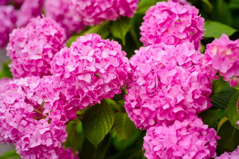 Garden relax. Flowering hortensia plant. Hydrangea blossom on sunny day. Blossoming flowers in summer garden. Pink. Hydrangea in full bloom. Showy flowers in royalty free stock photos