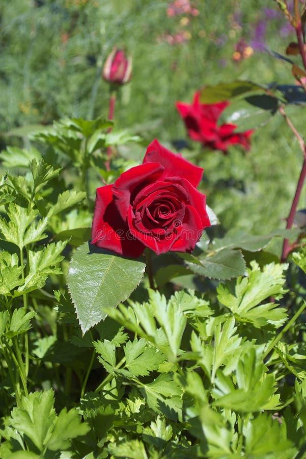 Garden rose stock photography