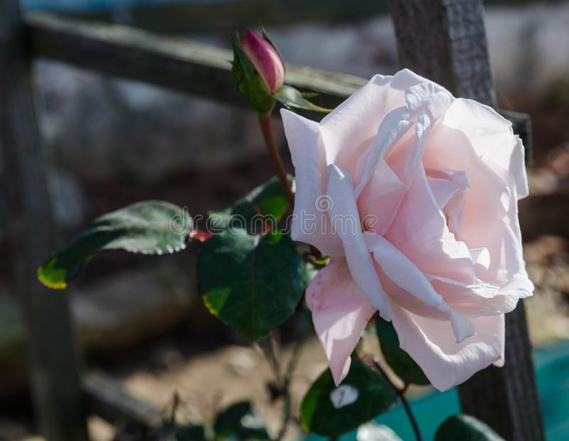 garden rose with bud stock photography