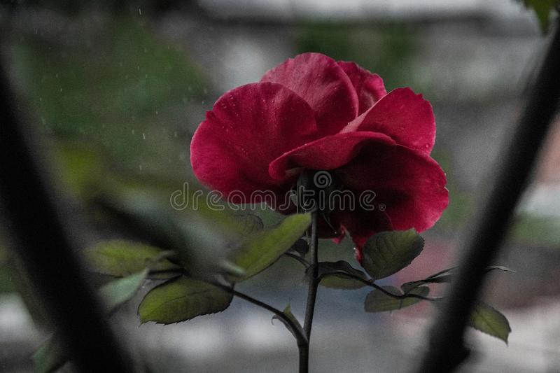 Garden rose , the first one that poped out.rainy day , natural beauty ,red color and so beautiful petals and green leaves with dro. Ps on it royalty free stock photo