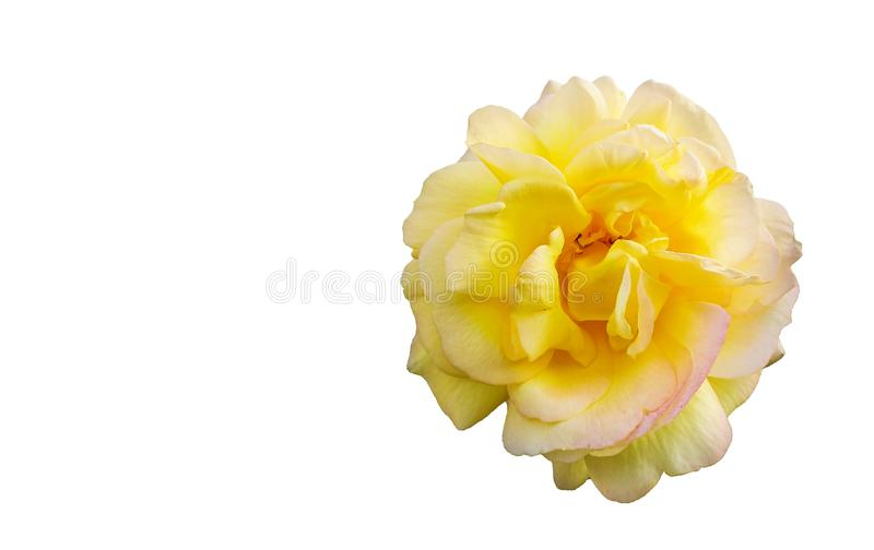 Garden rose flower bud on a white background. A bud of a blooming rose is isolated on a white background with place for text royalty free stock photo
