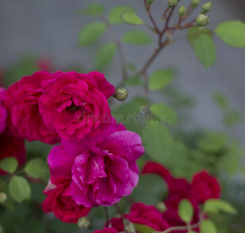 Garden roses backgrorund royalty free stock photo