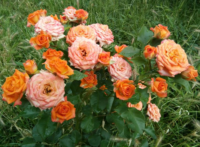 Garden roses - Eutopia Garden - Arad, Romania. Garden roses grown as ornamental plants in private or public gardens. They are one of the most popular and widely royalty free stock images