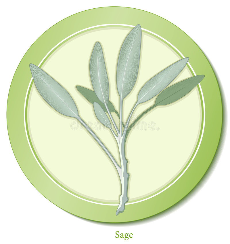 Garden Sage Herb. Sage is a perennial garden herb with aromatic gray-green leaves used in cooking meats, poultry and stuffing. Also used in medicines. See other vector illustration