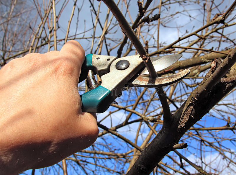 Garden scissors. Persons cuts branches to aple trees stock image