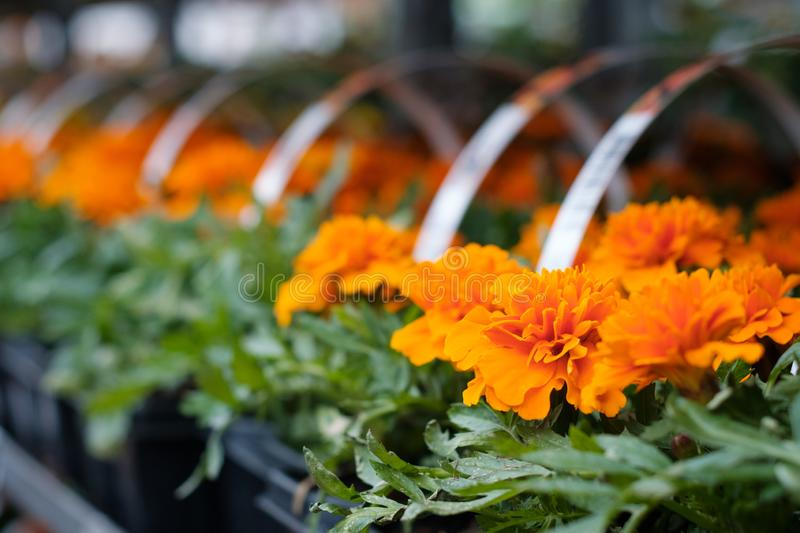 Garden shop. Many colorful flowerpot in the store, close up. Nursery of plants and flowers for gardening.  royalty free stock image