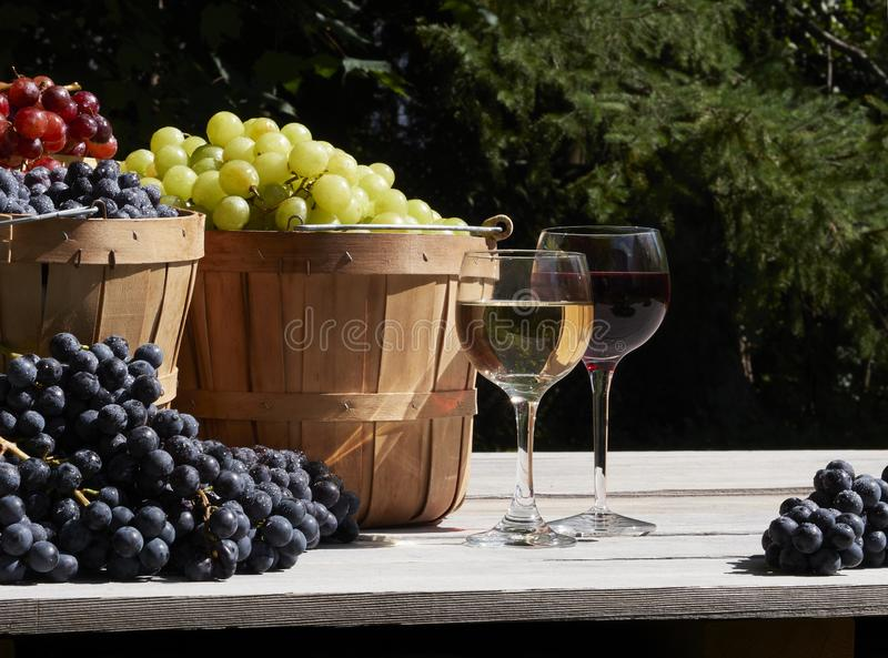 A garden shot of red green and blue grapes outside in baskets in the sunshine with glasses of red and white wine. A garden shot of red green and blue grapes royalty free stock images