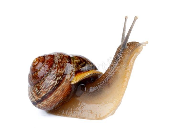 Download Garden snail stock photo. Image of garden, snaillike - 12632278