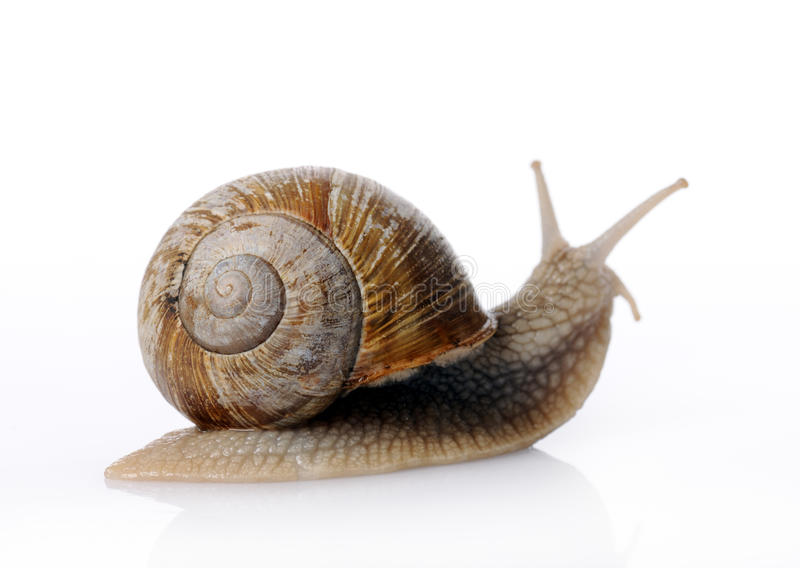 Garden snail royalty free stock image