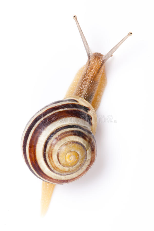 The garden snail. In front of white background stock image
