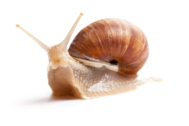 The garden snail. In front of white background stock photo