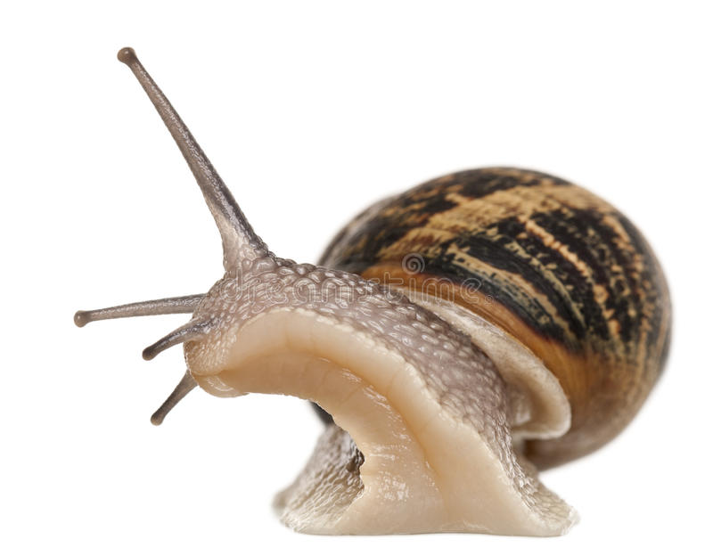 Garden Snail. In front of white background royalty free stock photo