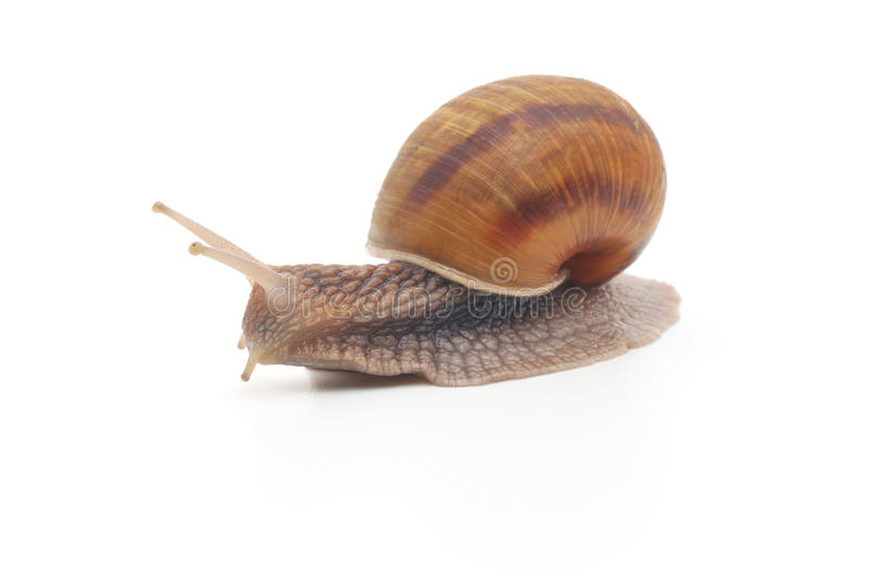 Garden snail. Isolated on white background royalty free stock images