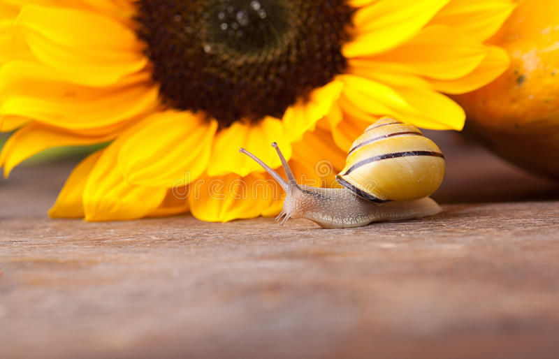 Garden Snail. Autumn Image with small banded garden snails and Sunflower stock photos
