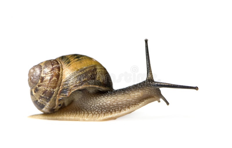 Garden snail. In front of a white background stock photo