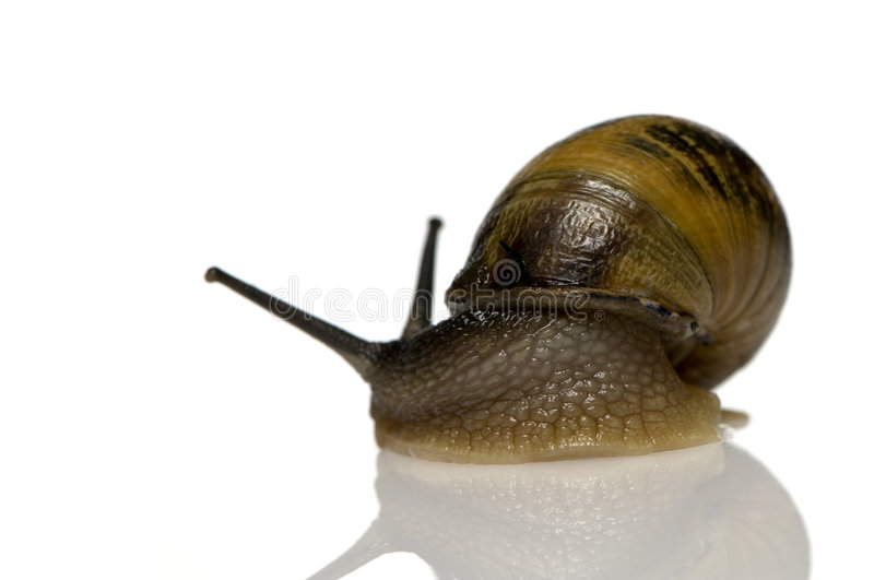 Garden snail. In front of a white background stock image