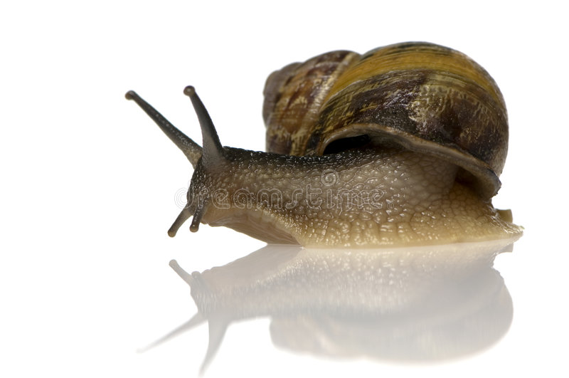 Garden snail. In front of a white background stock images