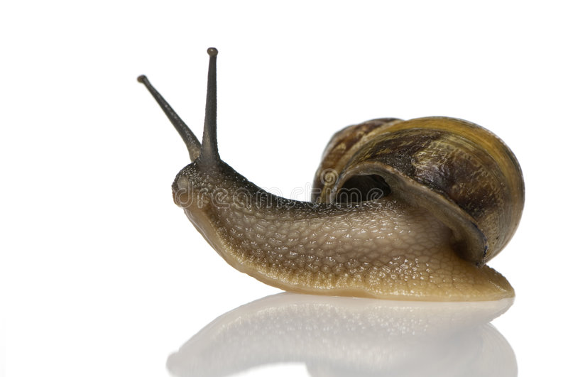 Garden snail. In front of a white background royalty free stock images