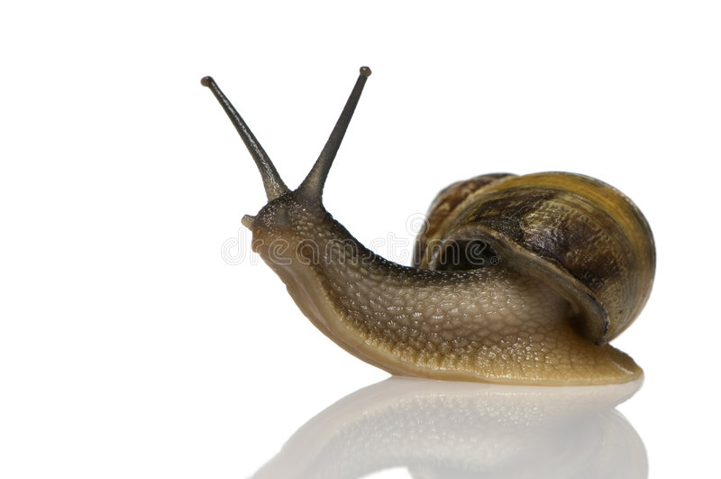 Garden snail. In front of a white background stock photos