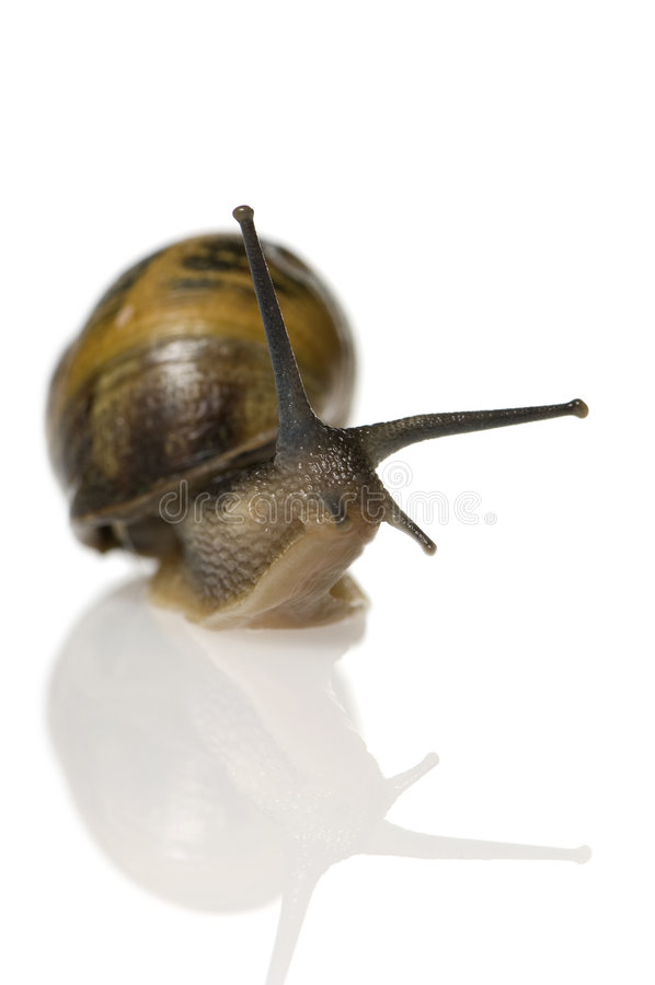 Garden snail. In front of a white background stock photography