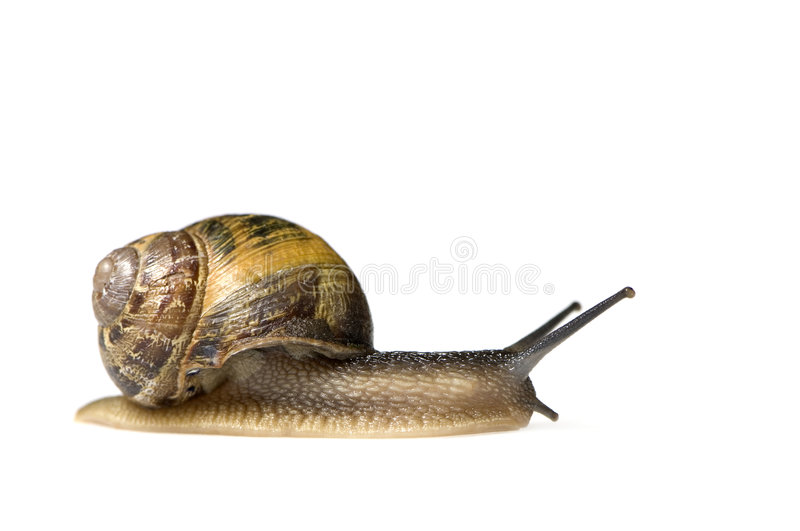 Garden snail. In front of a white background royalty free stock image