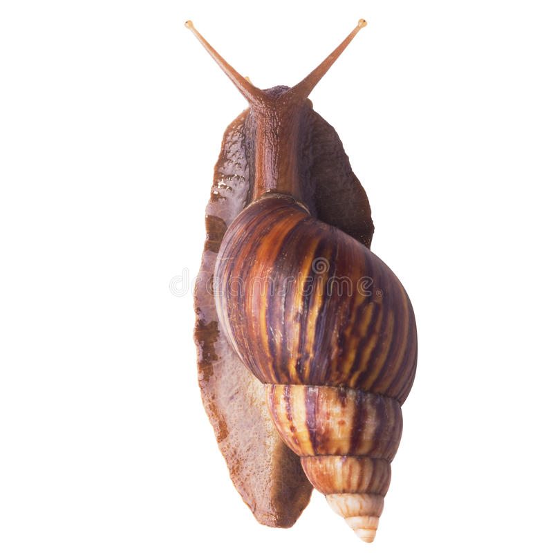 A Garden Snail (Cornu aspersum) isolated on a white background. With clipping path. Top view stock photography