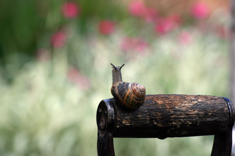 Garden snail (Helix aspersa). A common garden snail atop the handle of a garden fork emerging from its shell. Soft focus background royalty free stock photos