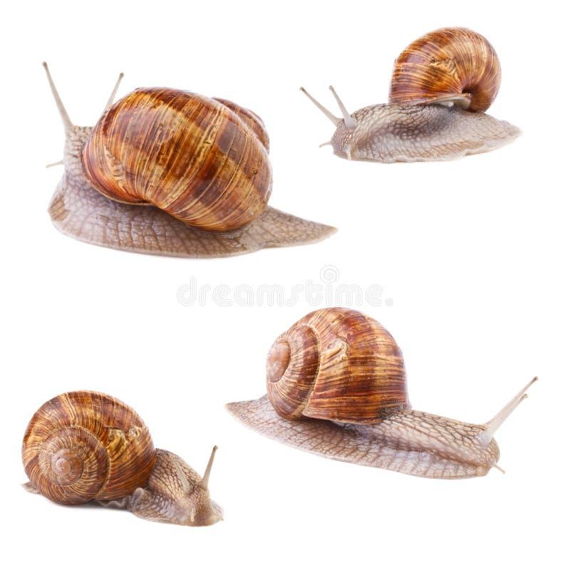 Garden snail Helix pomatia collection. On white background royalty free stock photos