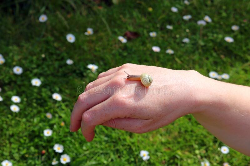 Garden snail on a human hand. A garden snail sliding over the back of a human hand. Close up stock photography