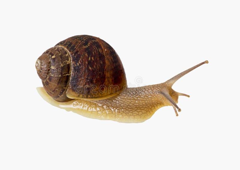 Garden snail isolated over white background stock image