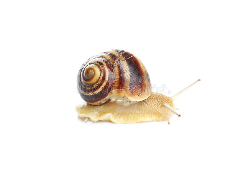Garden snail isolated on white. Background stock images