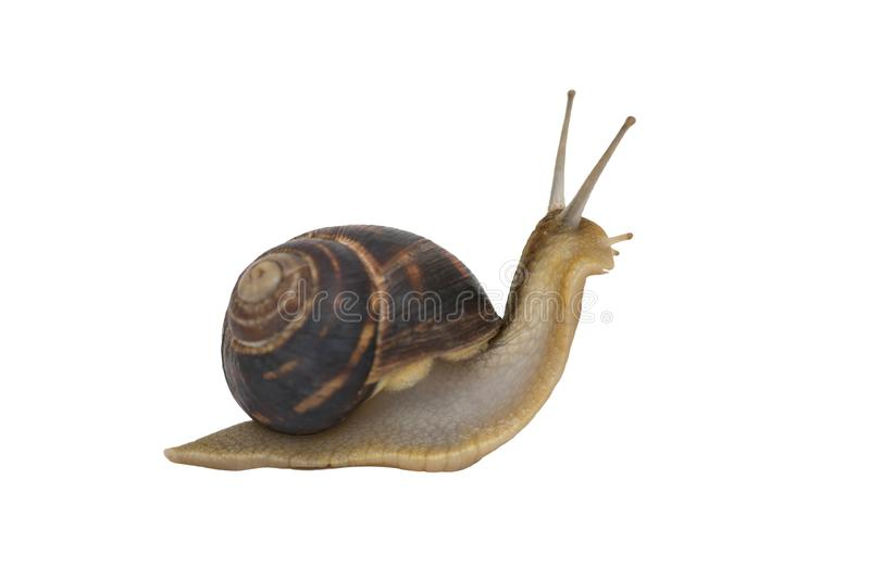 Garden snail isolated on white. Garden snail in front of white background.  royalty free stock photography