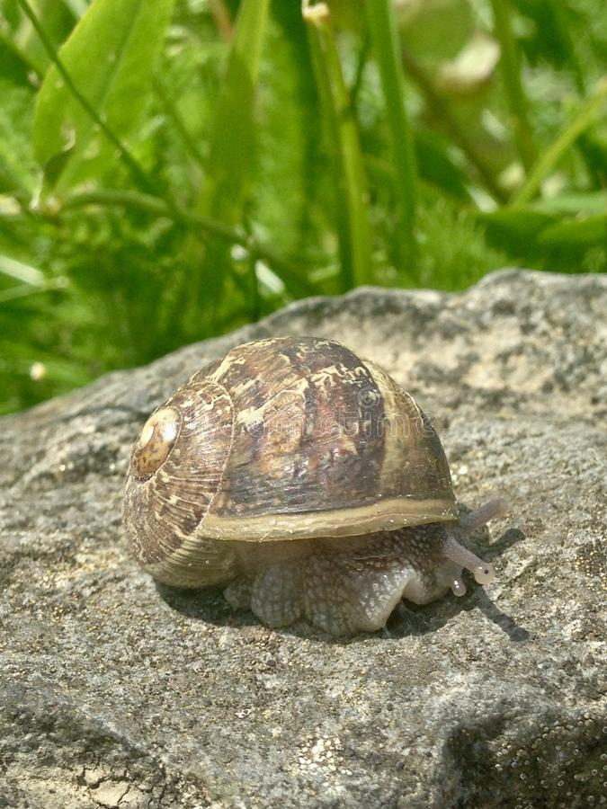 Garden snail. Large garden snail on rock royalty free stock images
