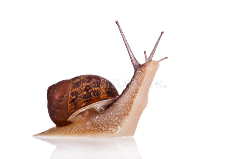 Garden snail looking up. Isolated on a white background royalty free stock photo