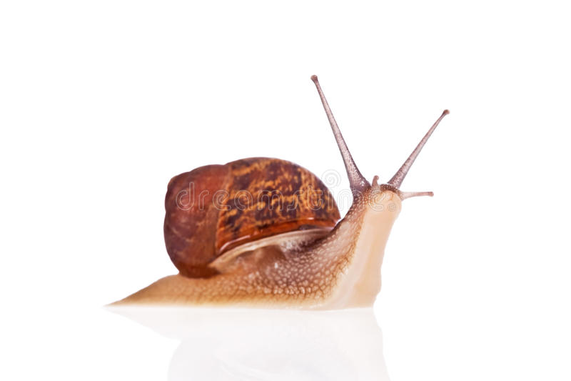 Garden snail looking up isolated on white royalty free stock photo