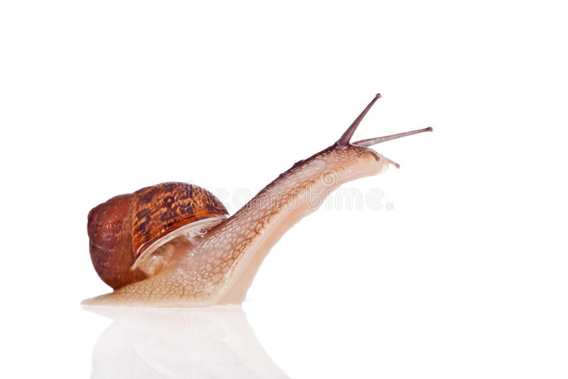 Garden snail looking up isolated on white. Garden snail looking up isolated on a white background stock photo