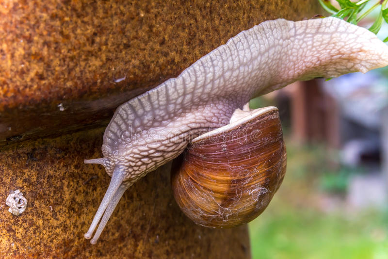 Garden snail slide on garden leafs, upside down royalty free stock image
